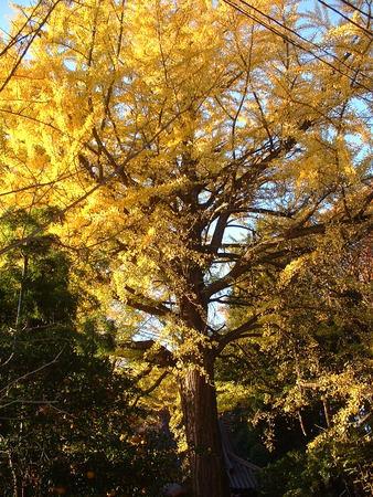 薬師堂の銀杏の木