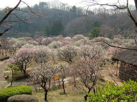 薬師池公園の梅園