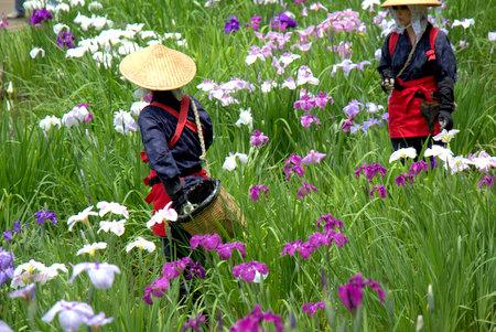 薬師池公園の花菖蒲(花摘み娘)