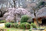 旧永井家の梅
